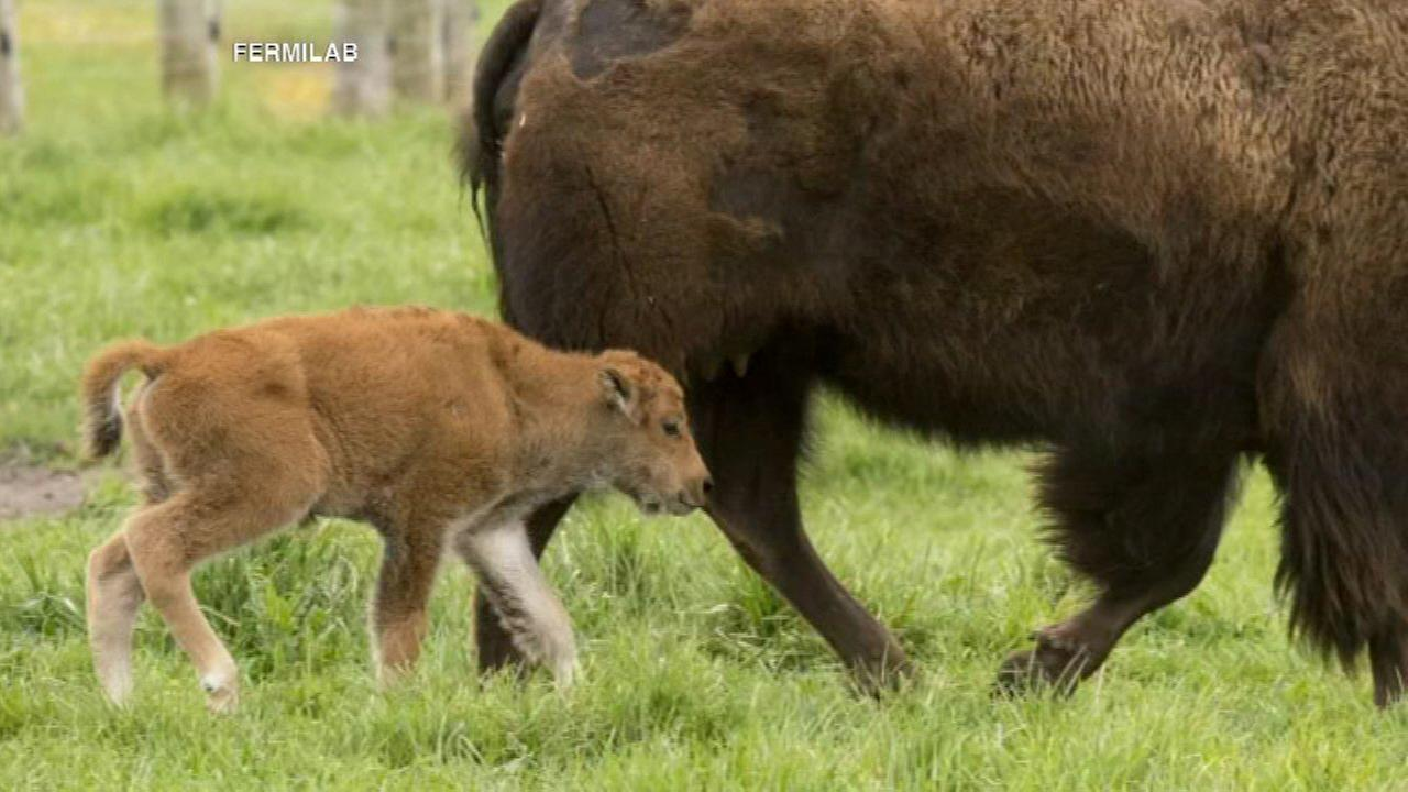 A baby bison was born at Fermilab on April 26, 2016.Fermilab