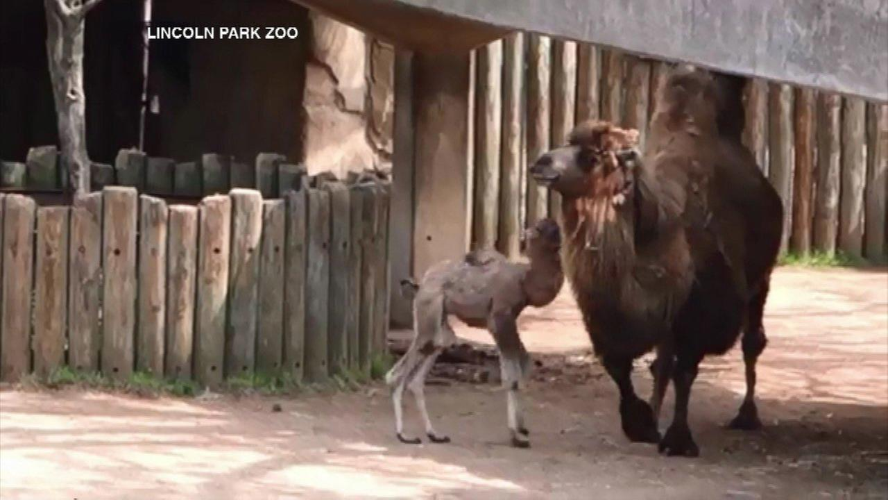 Lincoln Park Zoo introduces baby Bactrian camel