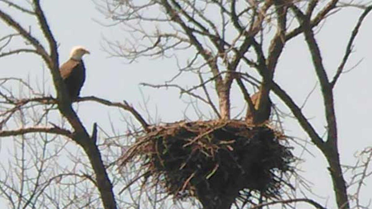 An ABC7 Chicago Facebook fan shared these photos of the eagle he spotted off Irene Road near Highway 72 near Kirkland, Illinois.