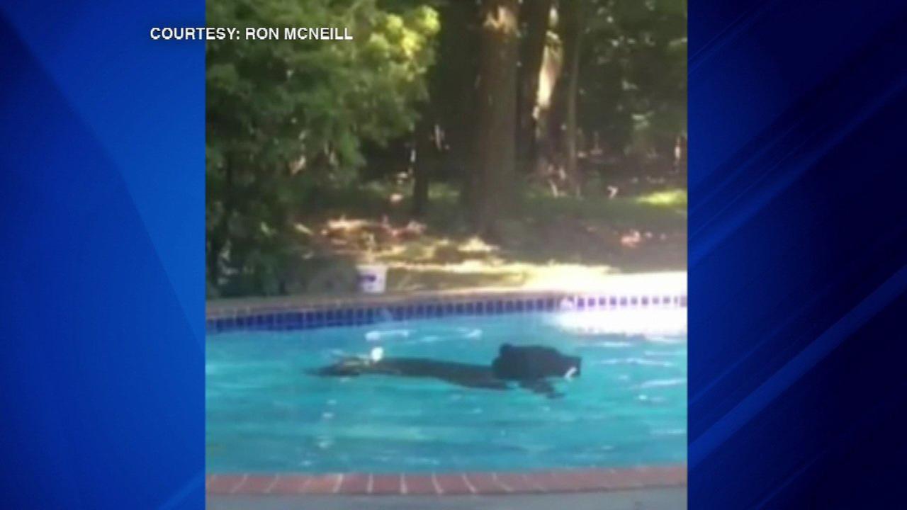 Unexpected guest: Bear in swimming pool