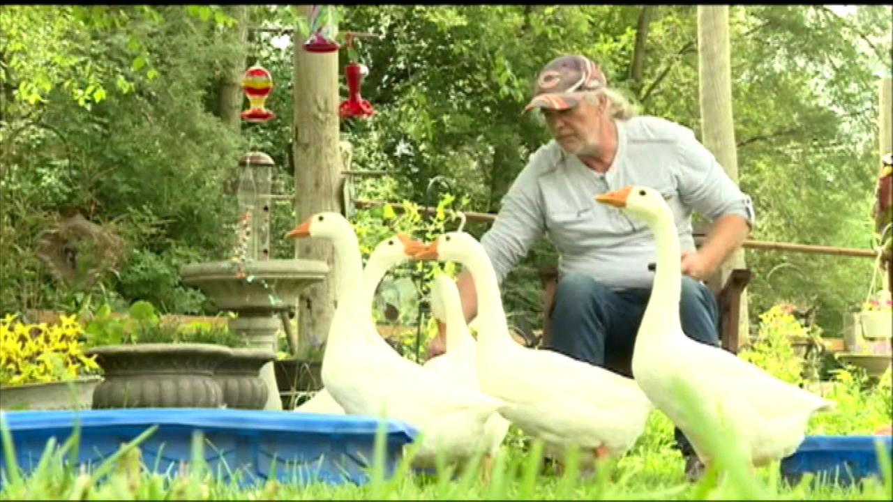 A disabled man who uses a gaggle of geese as therapy pets is now fighting to keep them.