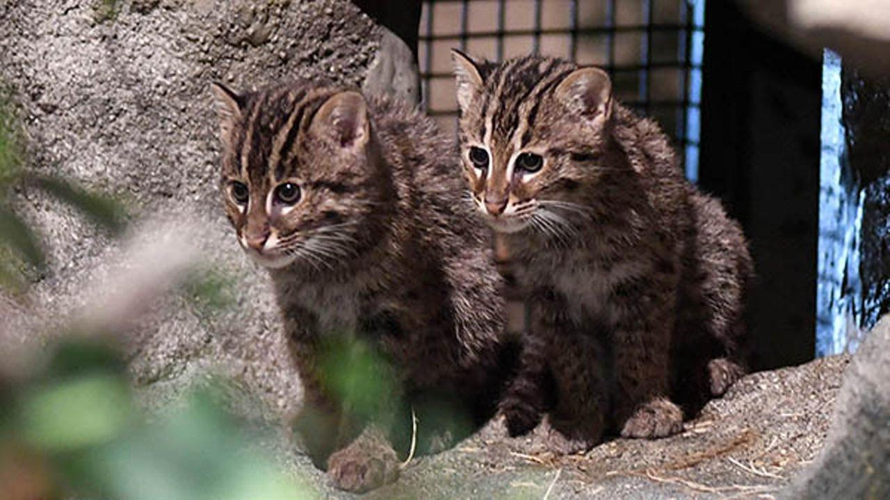 Brookfield Zoo fishing cat kittens make their public debut