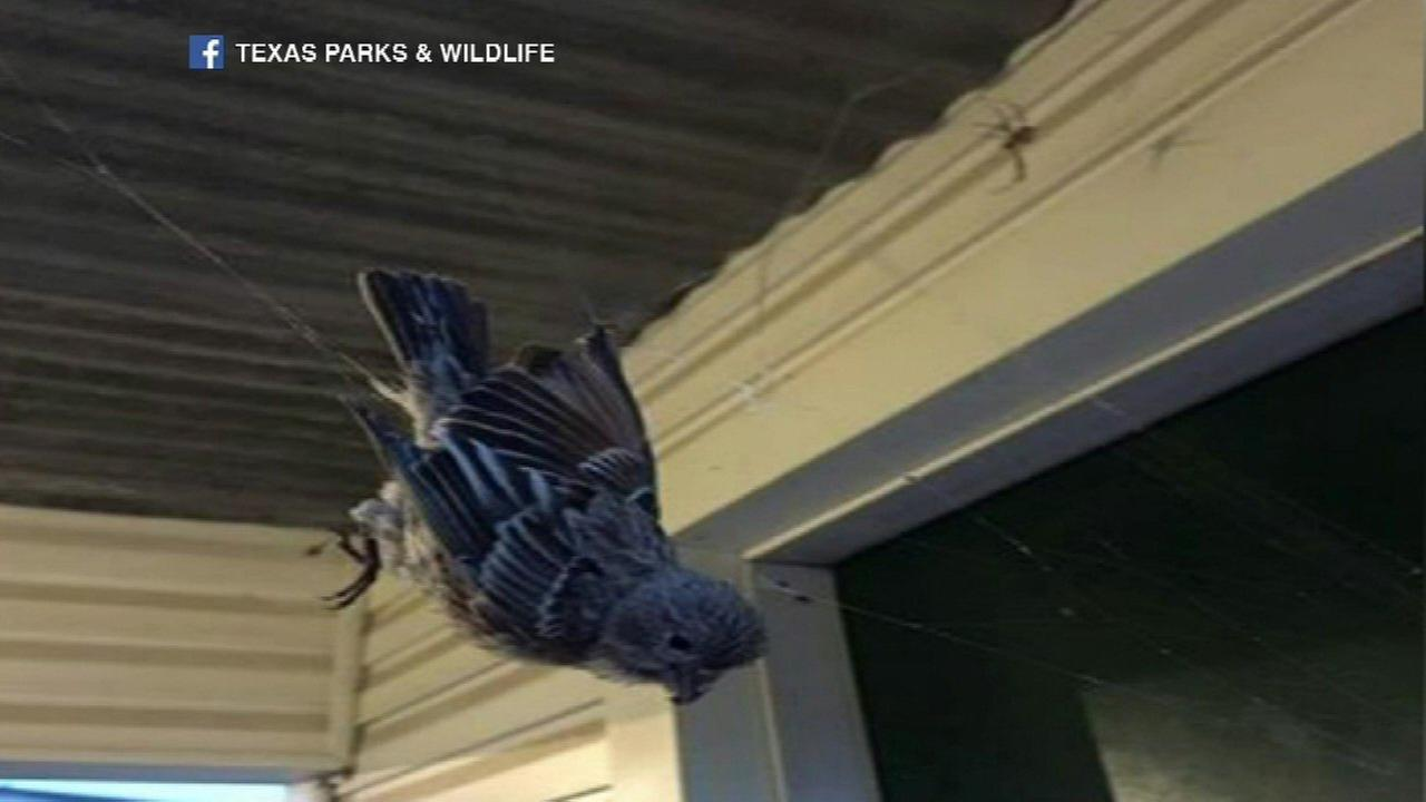 Bird caught in spider's web near Texas state park