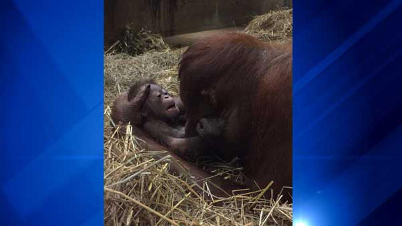 Batang and her infant - 1-hour-old - in the Great Ape House at the Smithsonians National Zoo.Amanda Bania, Smithsonian's National Zoo
