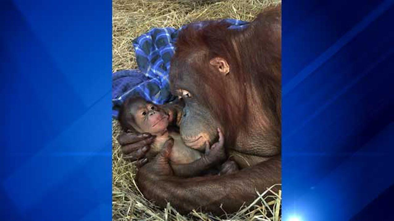 Batang and her infant in the Great Ape House at the Smithsonians National Zoo.Alex Reddy, Smithsonian's National Zoo