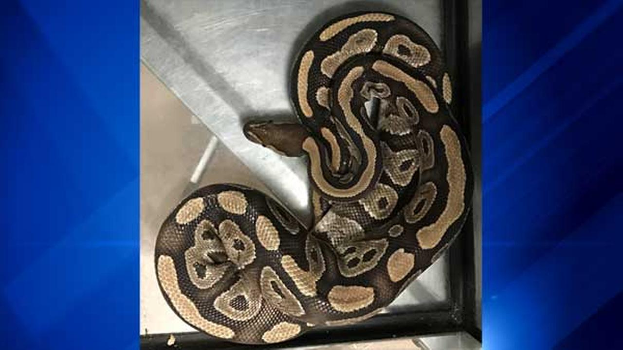 Woman finds 3-ft. python in Englewood apartment