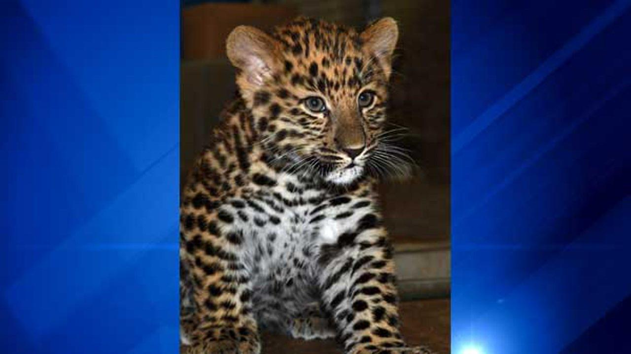 An adorable Amur leopard cub was born at Brookfield Zoo on July 22, 2016. Chicago Zoological Society