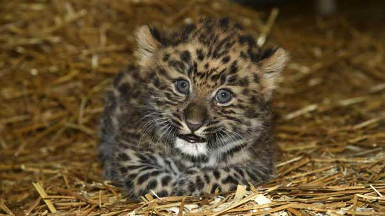 An adorable Amur leopard cub was born at Brookfield Zoo on July 22, 2016.
