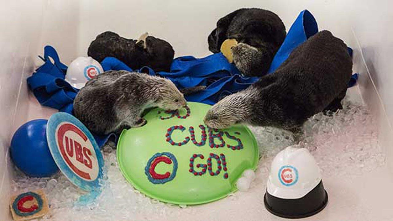 The Shedd Aquariums rescued sea otters celebrated Halloween and cheered on the Chicago Cubs with treats from the Animal Response Team over the weekend.Shedd Aquarium