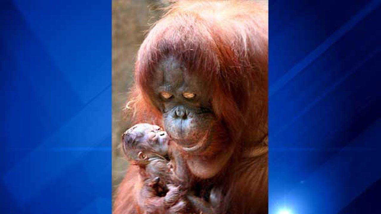 A Bornean orangutan was born on Dec. 20, 2016 at Brookfield Zoo.Chicago Zoological Society