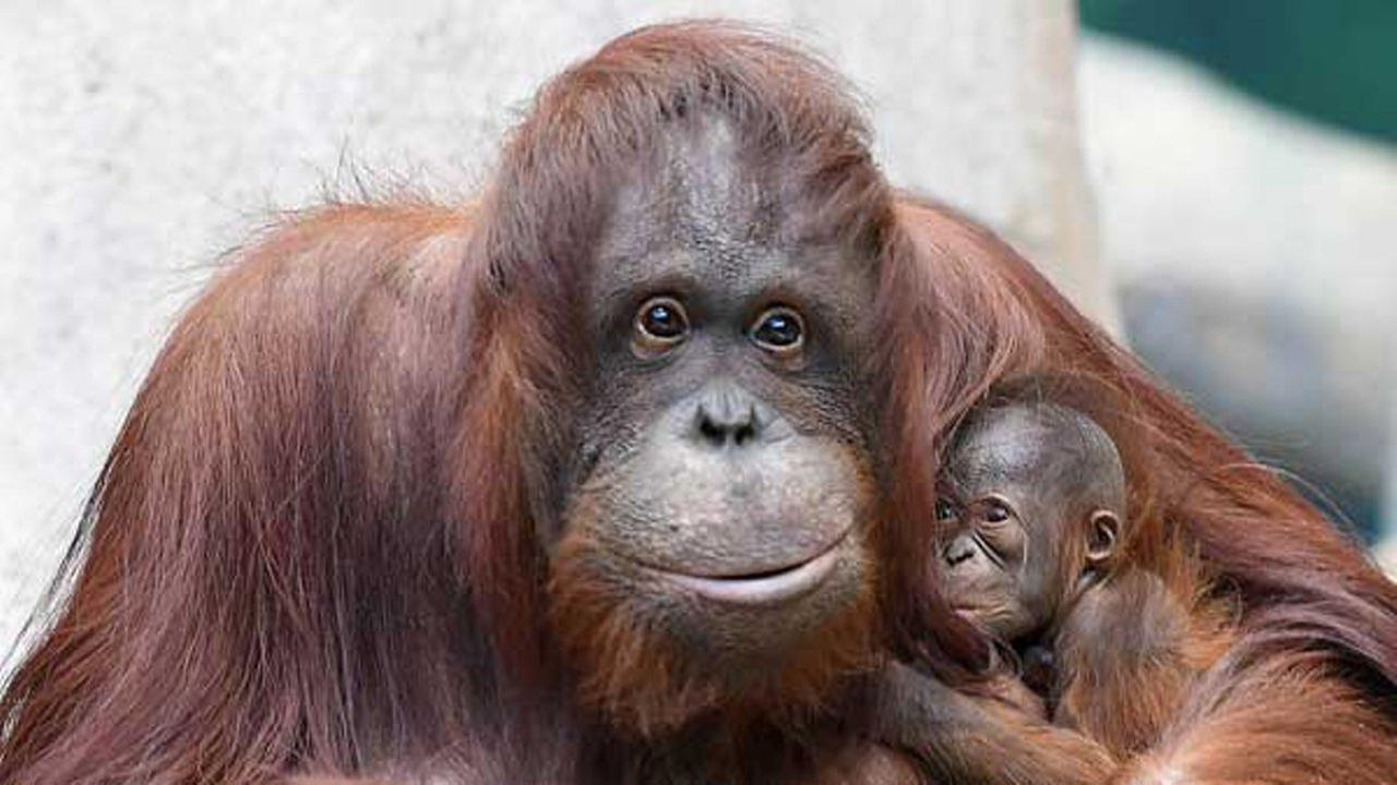 A female Bornean orangutan was born at Brookfield Zoo on December 20. She can be seen most mornings with her mom Sophia. Jim Schulz/Chicago Zoological Society