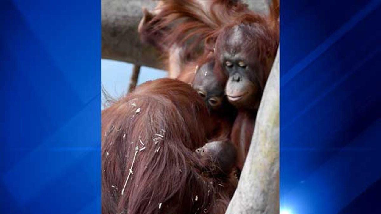 The inquisitive eyes of young orangutans Kecil (left) and Kekasih look at the new addition to the family, which can be seen most mornings in the zoos Tropic World: Asia habitat.Jim Schulz/Chicago Zoological Society
