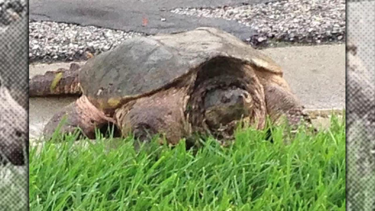 Some fairly large turtles are roaming a Palatine neighborhood, and neighbors blame a construction project at nearby Fremd High School.