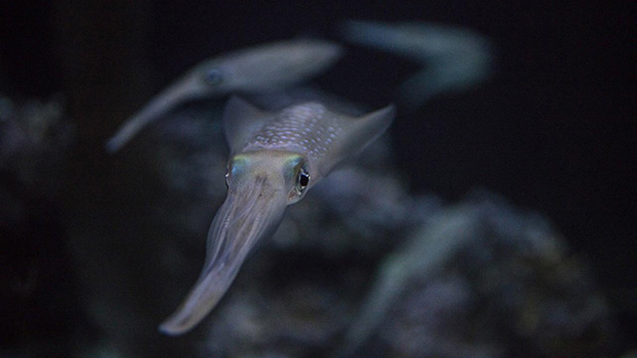 Bigfin reef squids make their debut at the Shedd Aquarium.Shedd Aquarium/Brenna Hernandez