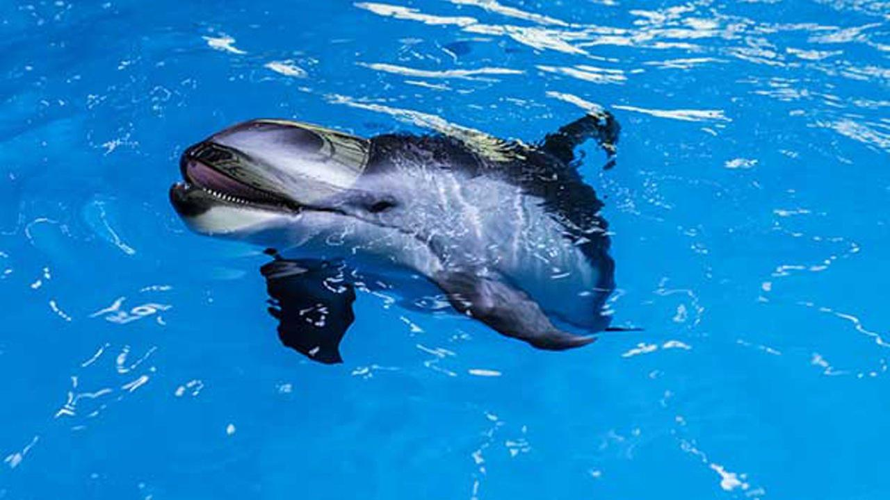 Pacific white-sided dolphin calf, Kukdlaa. Shedd Aquarium