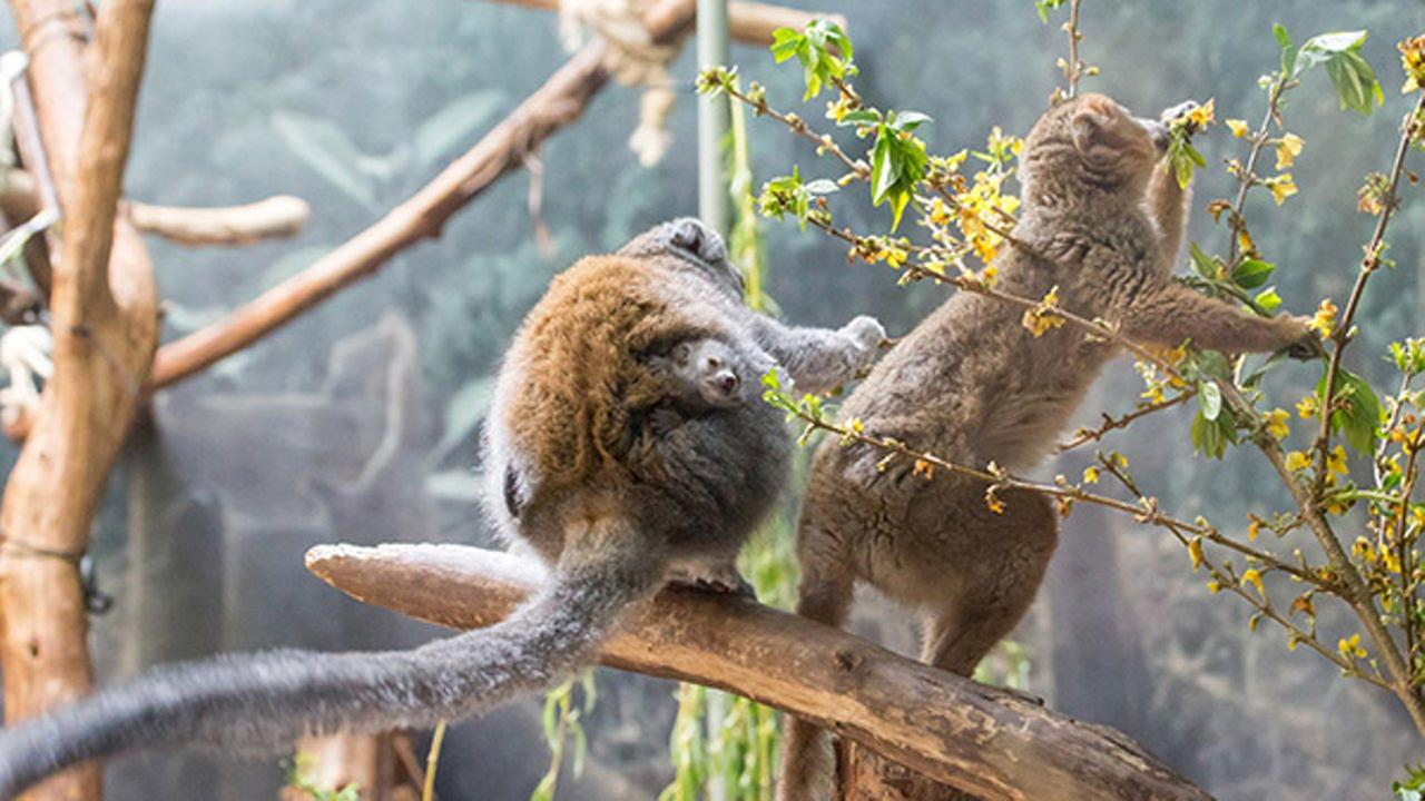 An endangered Crowned Lemur was born at Lincoln Park Zoo.