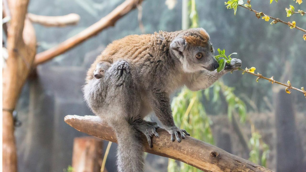 An endangered crowned lemur was born at Lincoln Park Zoo.Julia Fuller / Lincoln Park Zoo