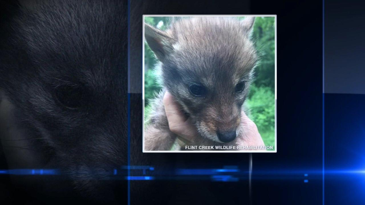 Reward offered for information about dead coyote pups found in bag