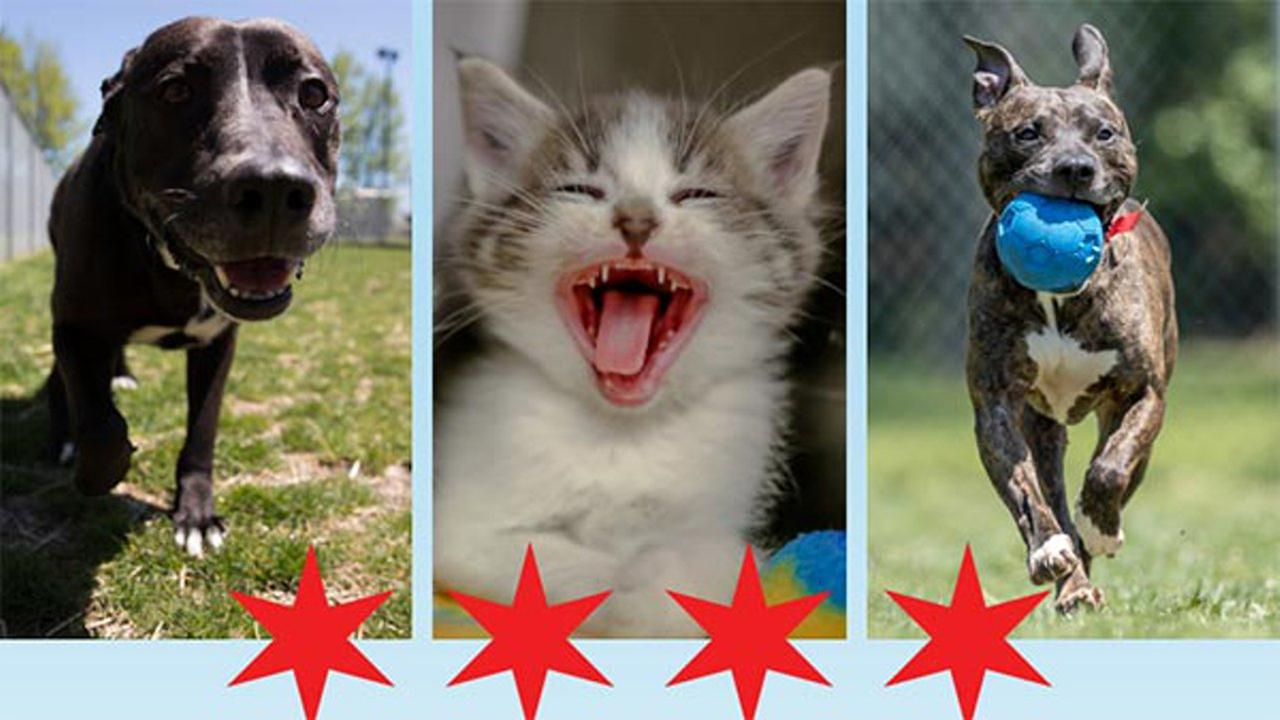 Chicago Animal Control offering free adoptions Saturday afternoon