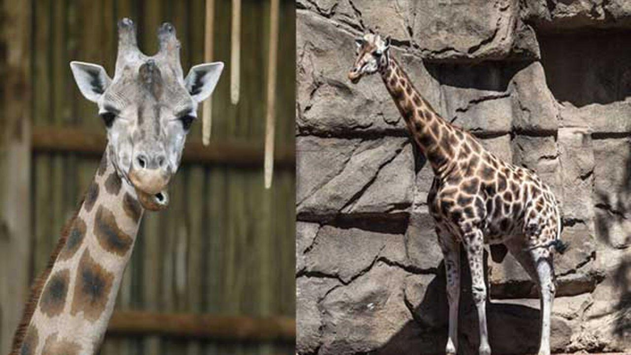 Sabrena, a 28-year-old giraffe at the Lincoln Park Zoo, has passed away.
