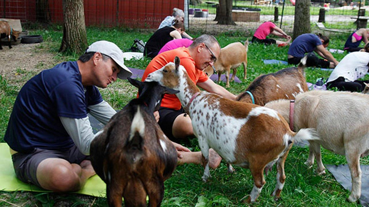 In this photo taken July 19, 2017, goats walk through a yoga session at Oak Hollow Acres Farm in Burlington, Wis.