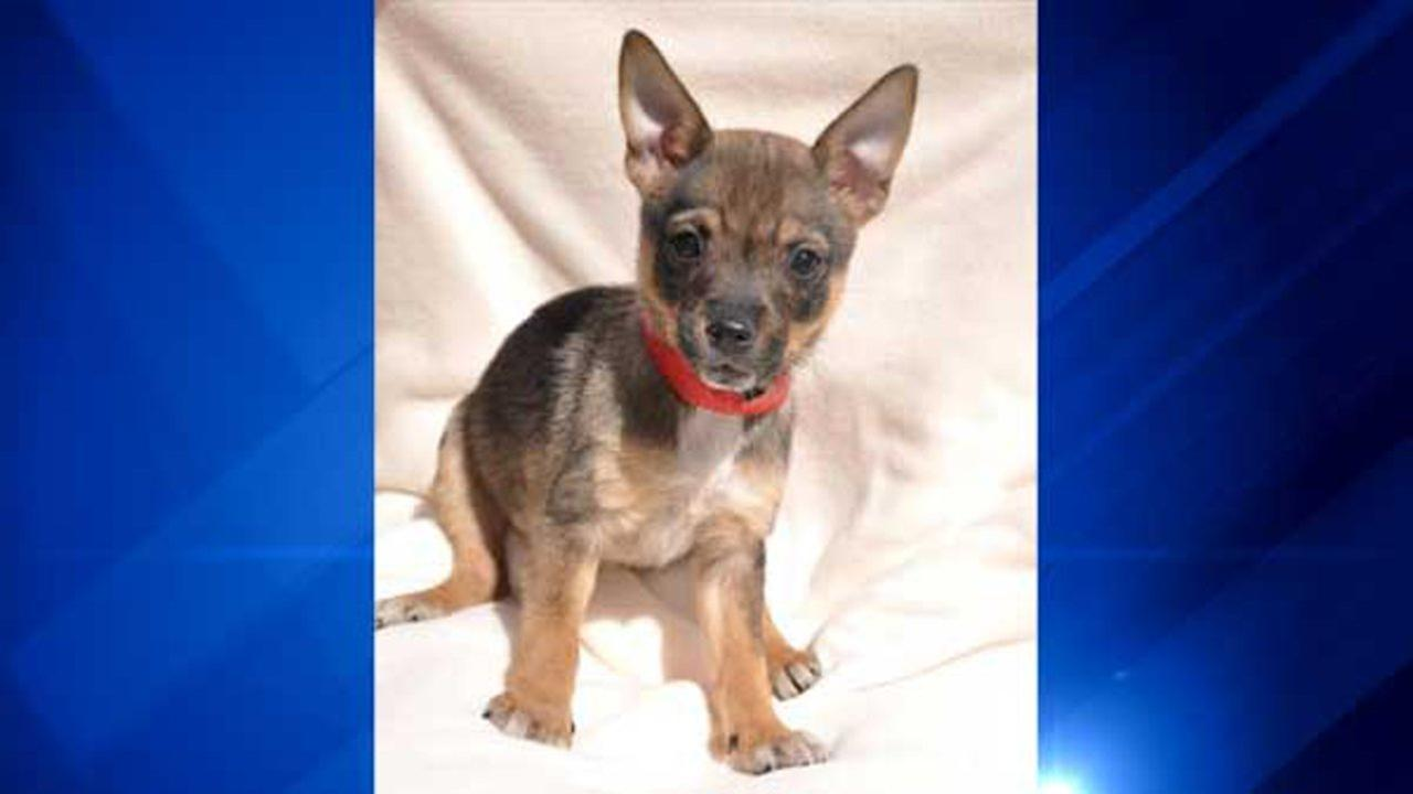 Harmonee, a 10-week-old terrier mix, was stolen Thursday from Heartland Animal Shelter in north suburban Northbrook. Heartland Animal Shelter