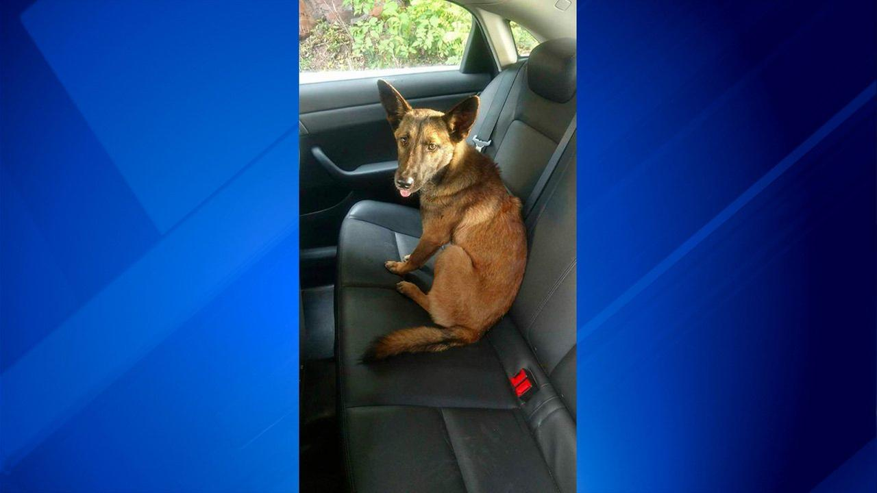 A German Shepherd is seen after it was rescued by the New Jersey State Police. Police said they had to coax the dog to leave a dead pit bull that it was found lying next to.