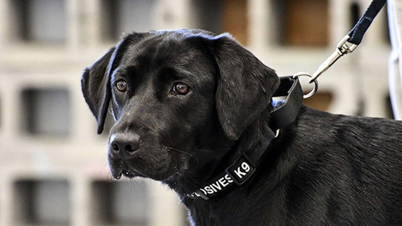 In an image provided by the CIA, young detector dog Lulu, during her initial training as a bomb detector dog. She lost her love of sniffing out bombs and returned to civilian life.