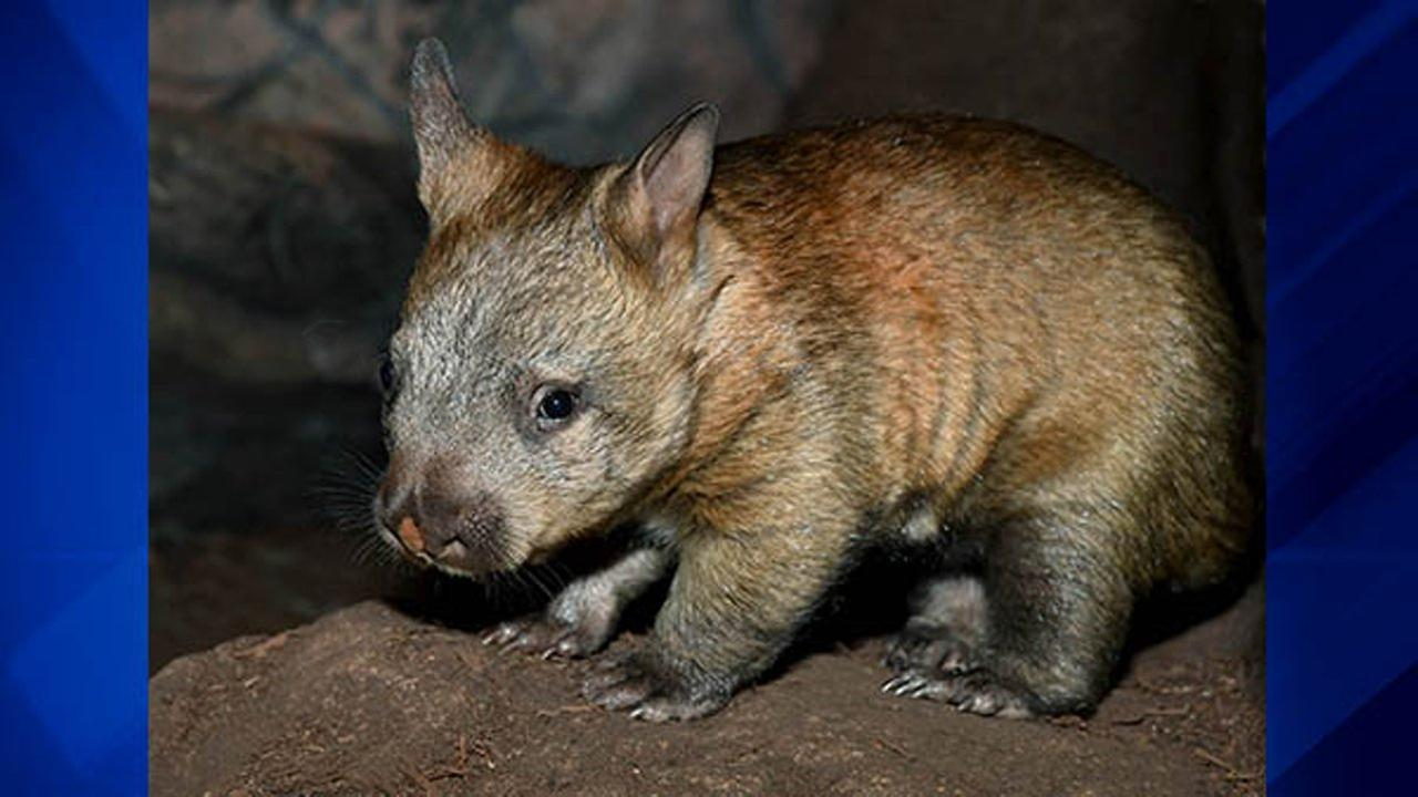 A wombat joey, one of only nine southern hairy-nosed wombats in the country, made her public debut Tuesday at the Brookfield Zoo.