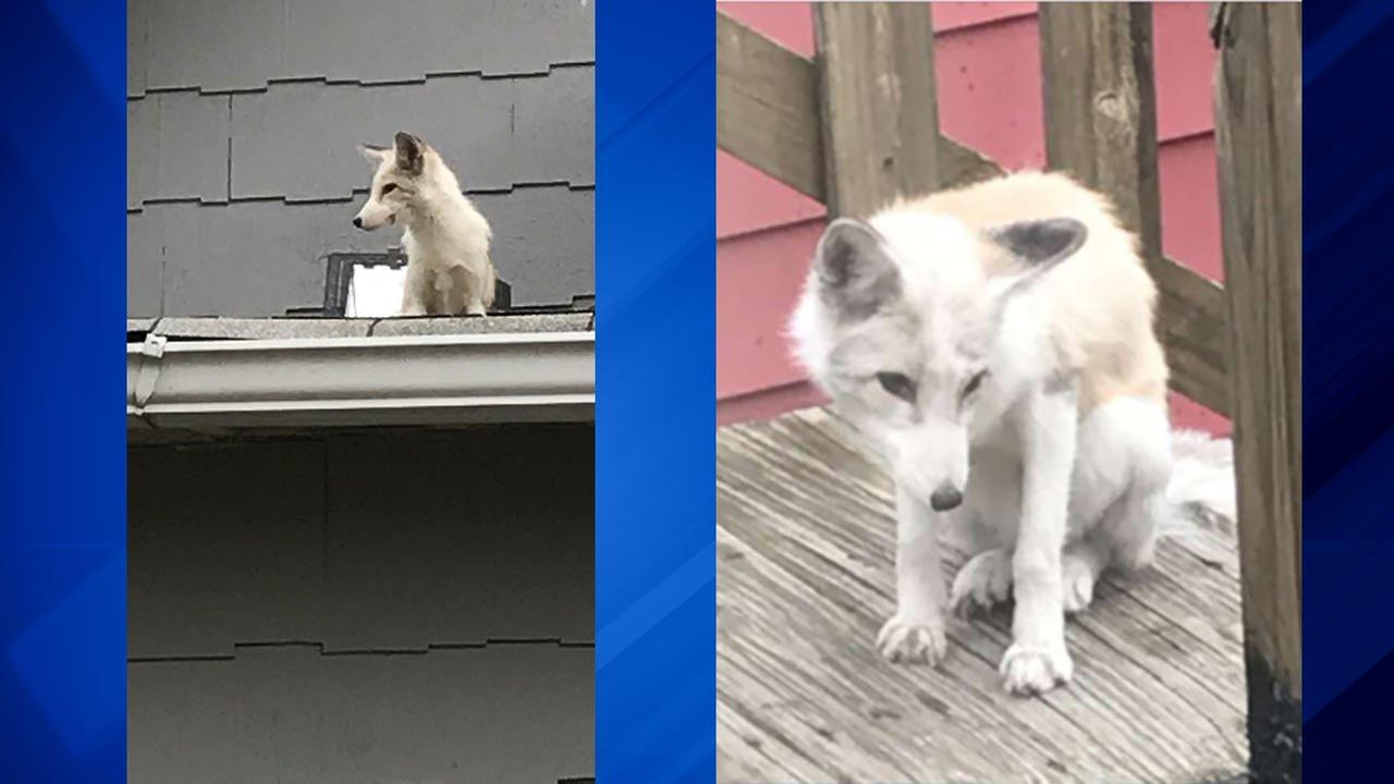 Coyote spotted hanging out on West Side roof