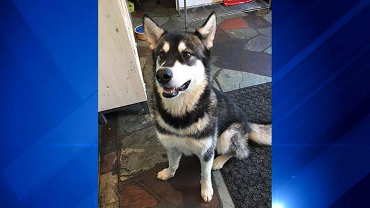 Izabella the Malamute lives on Chicagos North Side. She usually walks about a mile and a half to daycare with her owner. But things took a scary turn Tuesday morning.Canine Social Club