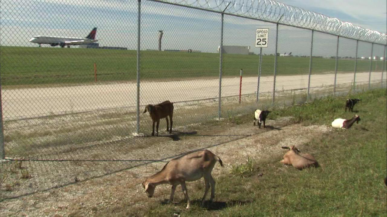 The goats are back at OHare to help keep the airport property nicely trimmed.