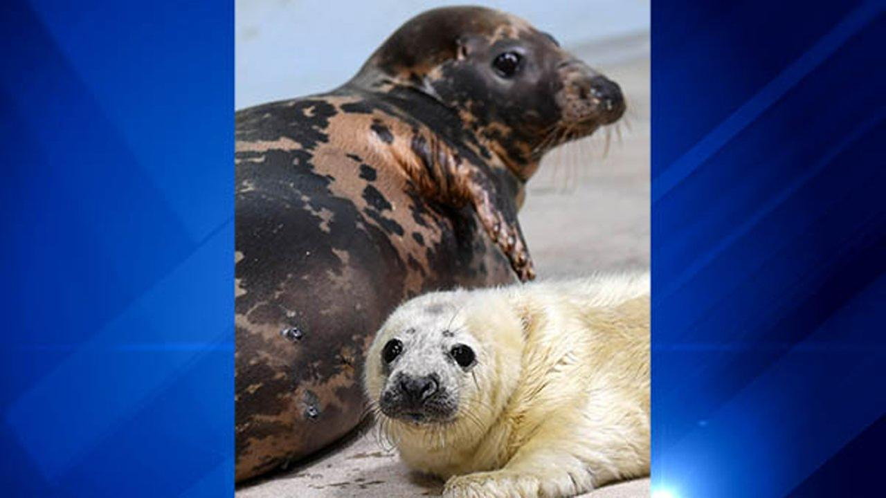 A male gray seal pup with his mother, 13-year-old Lily at Brookfield Zoo. Jim Schulz/Chicago Zoological Society