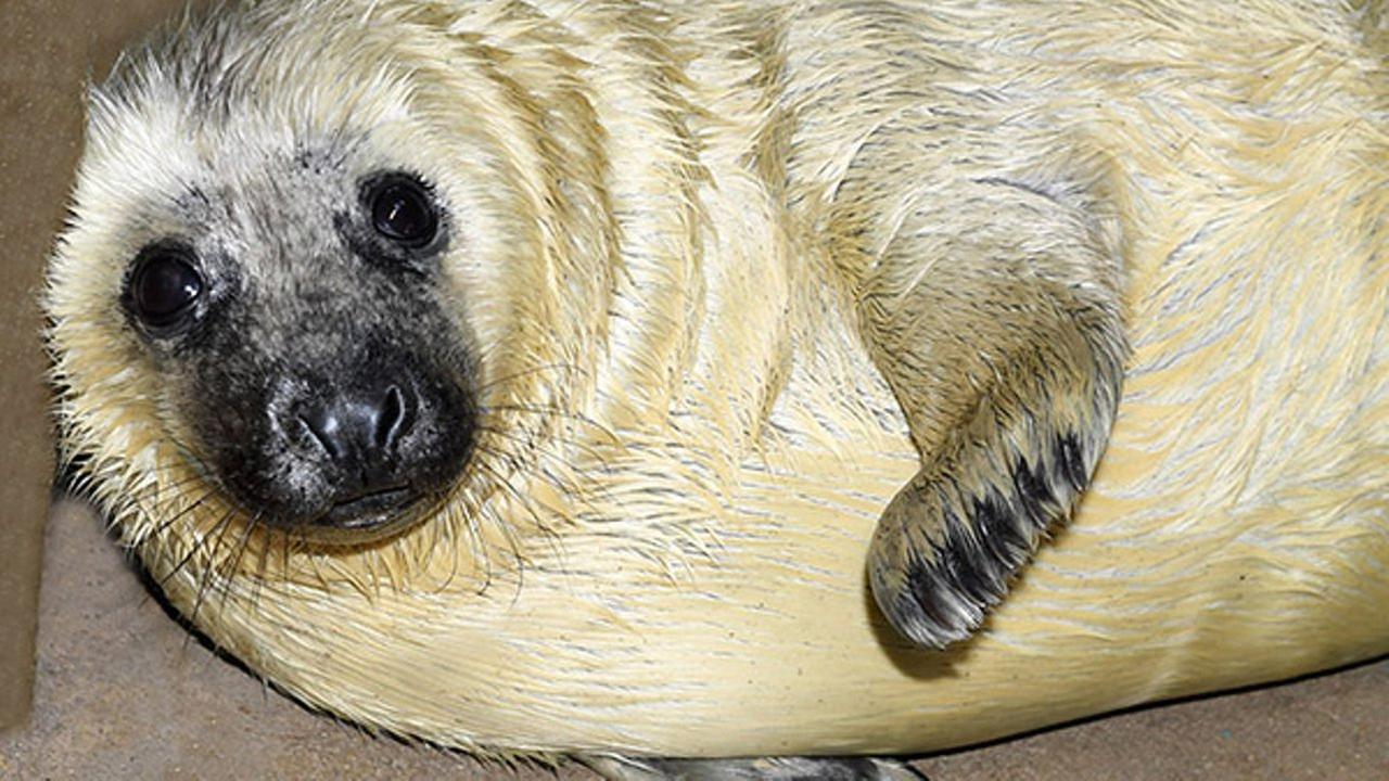 A male gray seal was born at Brookfield Zoo on December 26, 2017. Jim Schulz/Chicago Zoological Society