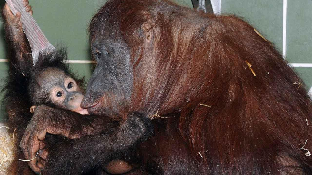 Kecil and his surrogate mother Maggie in Brookfield Zoo.