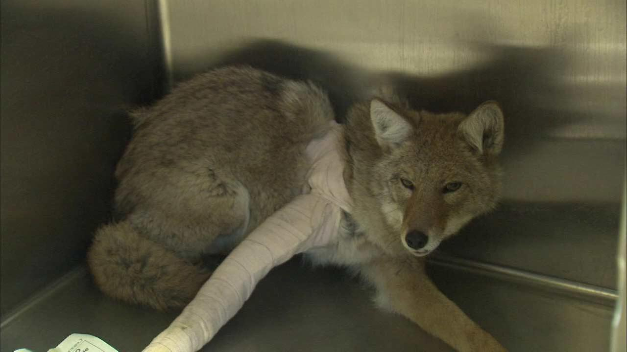 Photos Coyote Injured Jumping From 4th Floor Of Gary