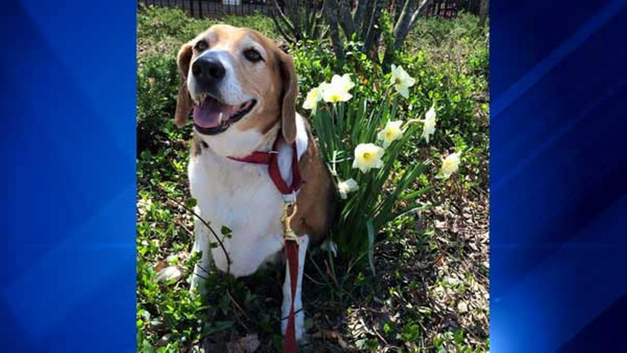 Obese beagle 'Kale Chips' losing weight, up for adoption in Chicago
