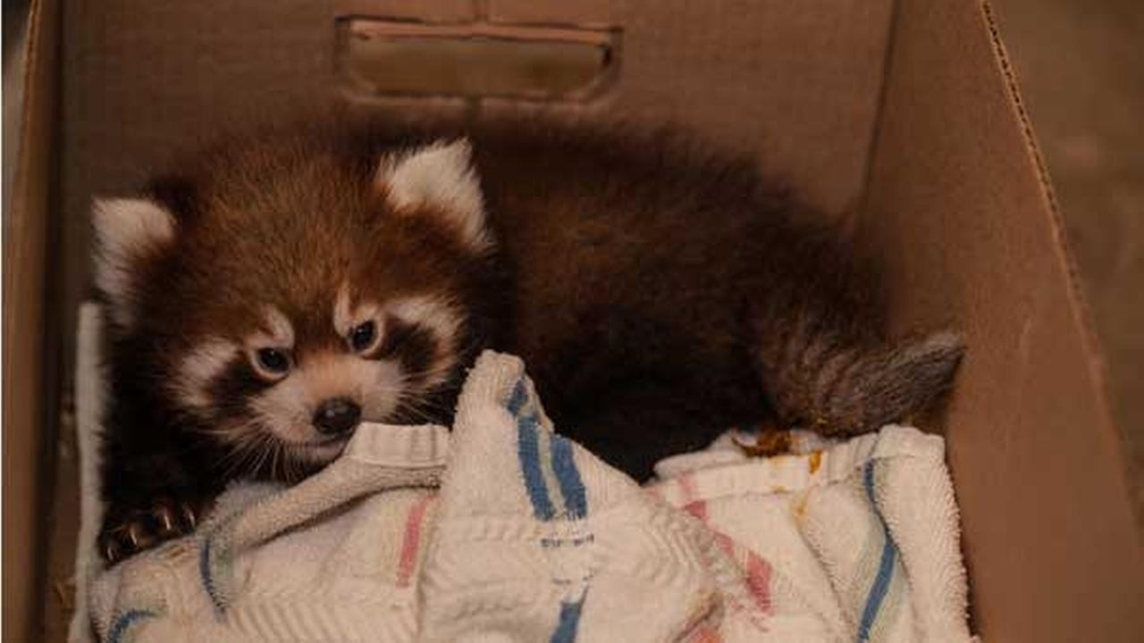 The Lincoln Park Zoos new baby red pandas, who are two months old, had their second physical exam on Tuesday.