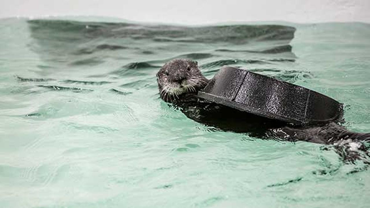Luna, a rescued sea otter who lives at the Shedd Aquarium.