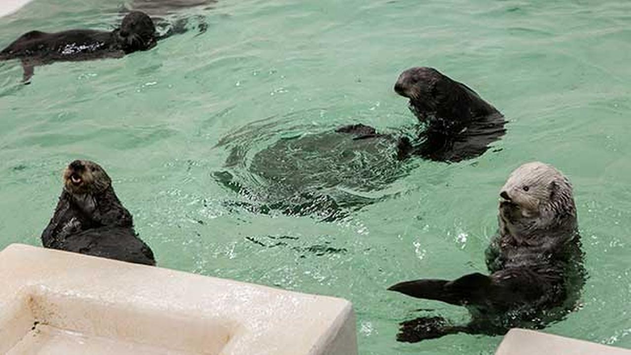 Photos Shedd Aquarium Sea Otters Abc7chicago Com
