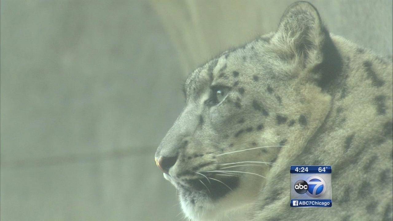 Snow leopard cubs make debut at Brookfield Zoo