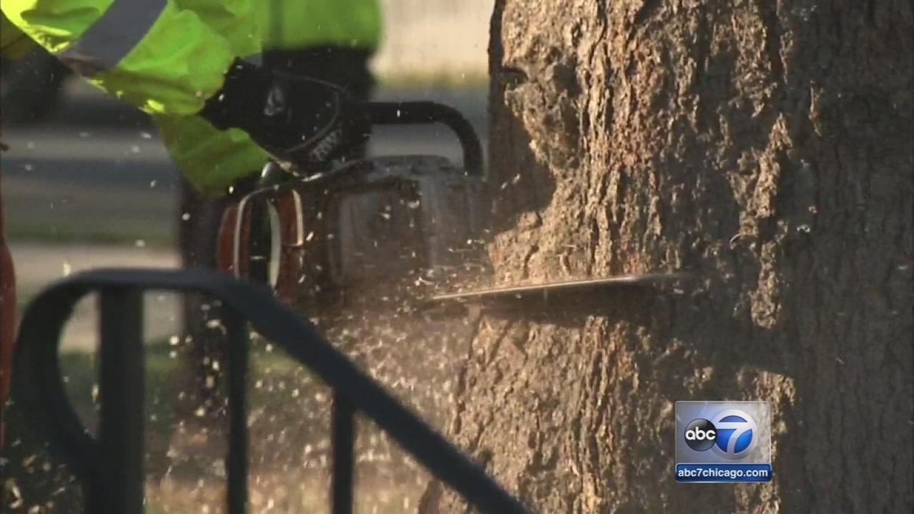 Chicago Christmas tree cut down