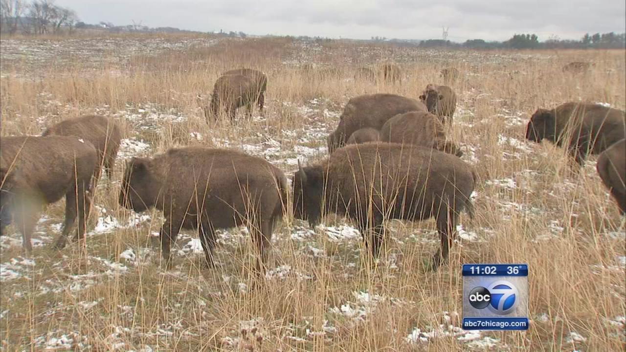 Bison roaming Illinois grasslands east of Dixon