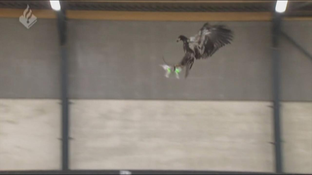 Dutch police test drone-hunting eagles