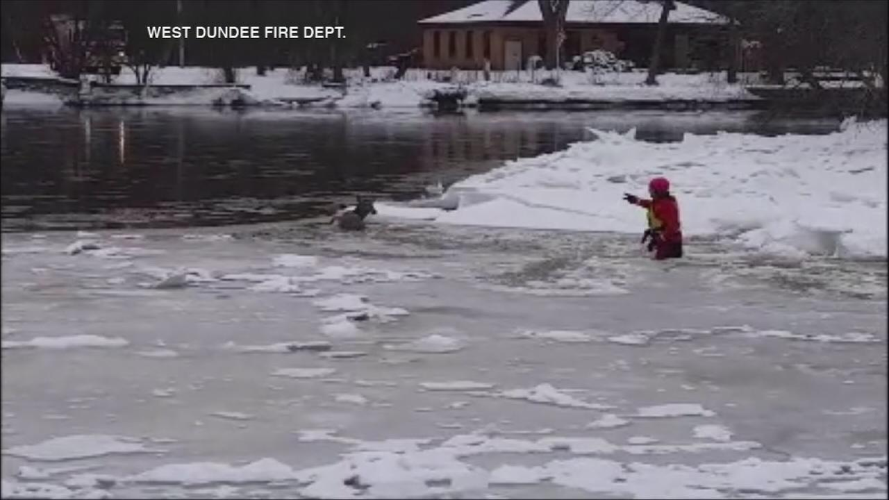 West Dundee firefighters rescue deer stuck in ice