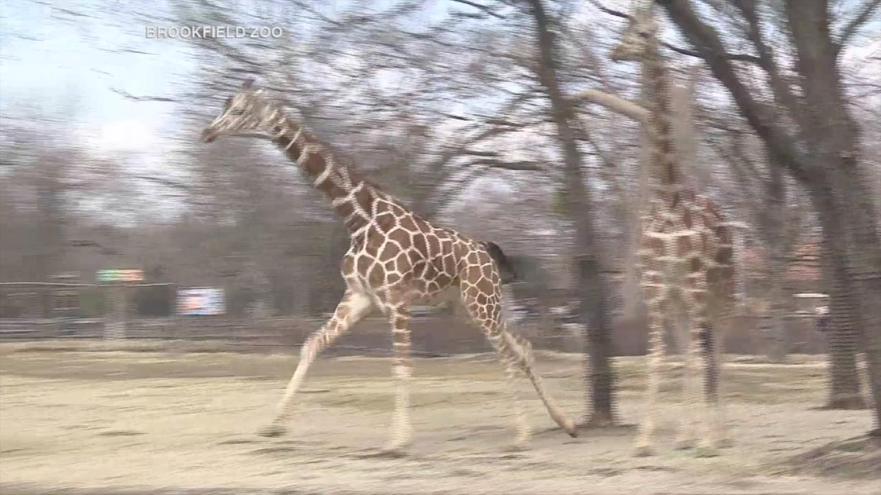 Brookfield Zoo giraffes enjoy warm weather