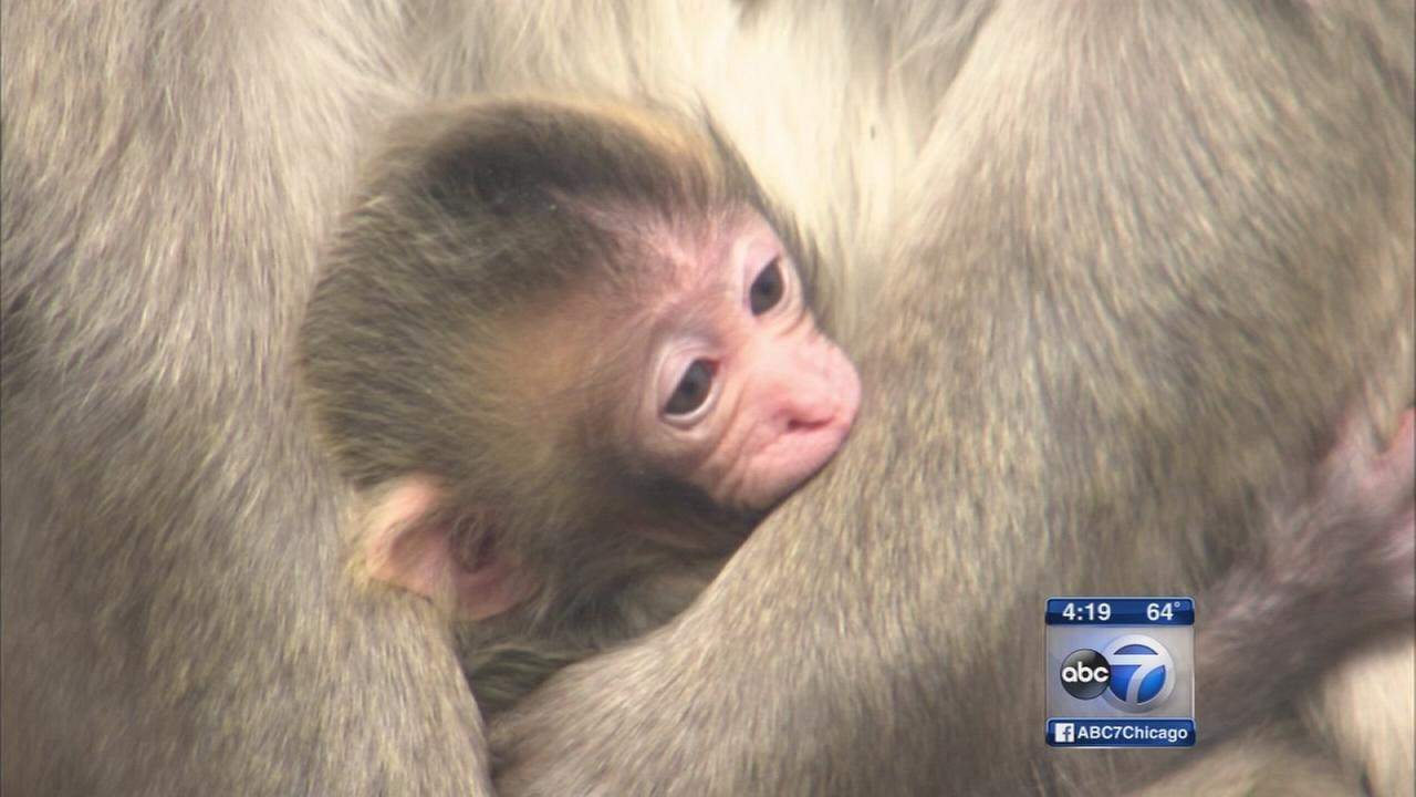 3 baby snow monkeys born at LP Zoo