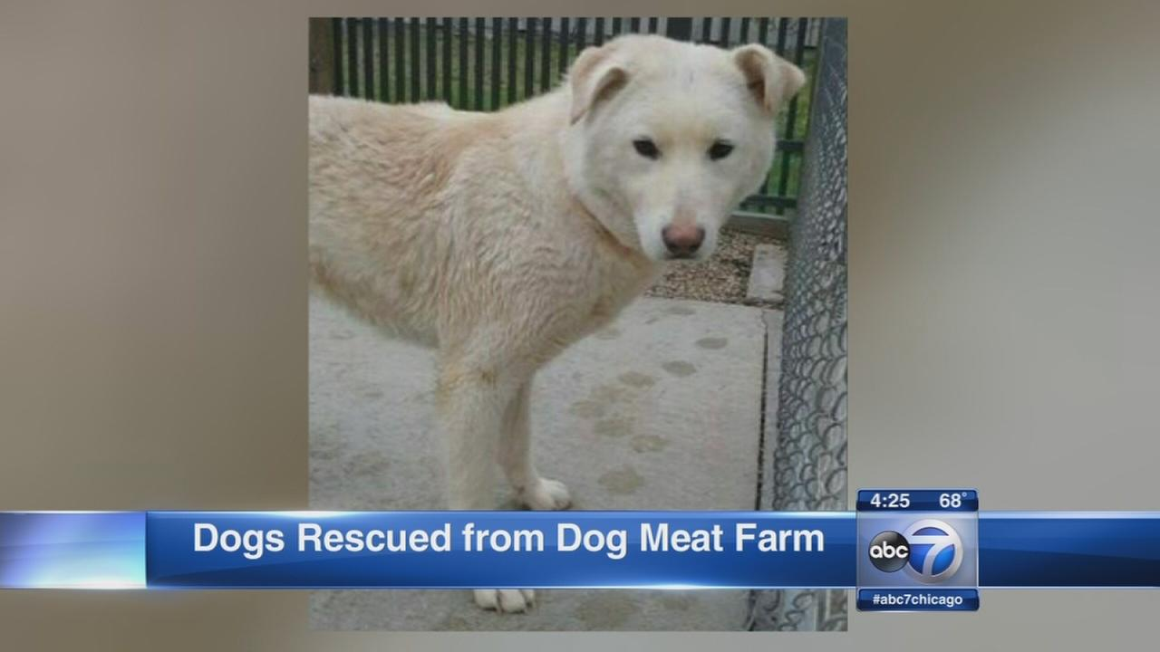 Dogs recused from dog meat farm