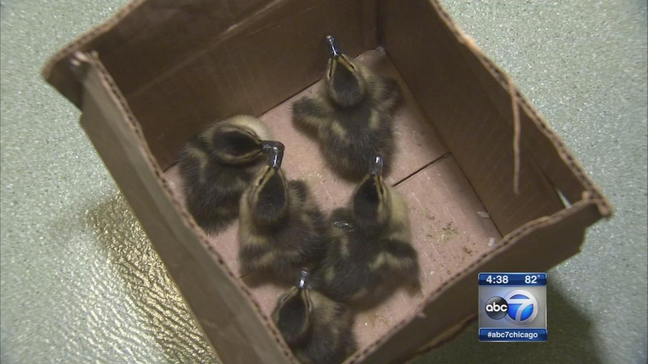 Man rescues 5 ducklings along Kennedy Expressway