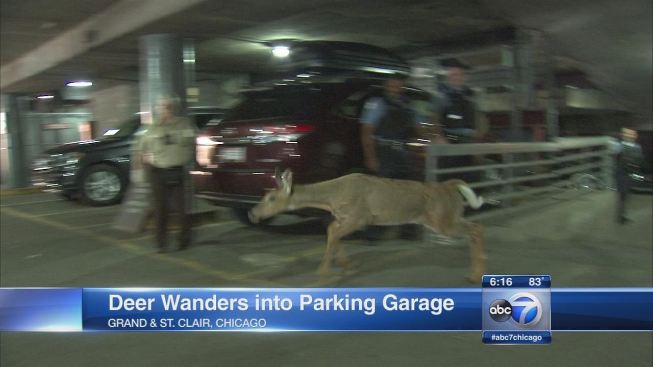 Deer lost in parking garage